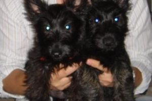 Before We had Kids, we had pets- Molly and Iain, Scottish Terriers- Corpus Christi Moms Blog