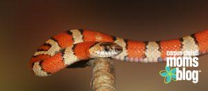 Please Don't Ask My Son to Touch the Snake- King Snake- Corpus Christi Moms Blog